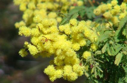Acacia pubescens GardensOnline Acacia pubescens