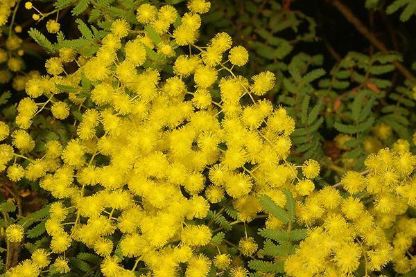 Acacia pubescens 940923ajpg