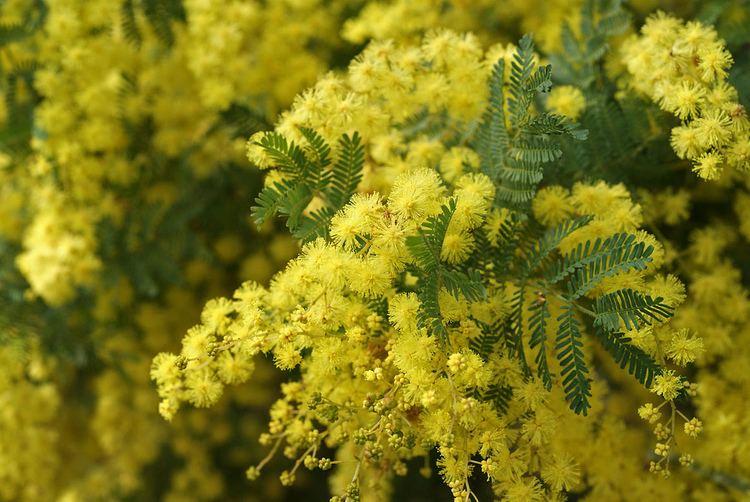 Acacia pubescens Acacia pubescens Andrew Flickr