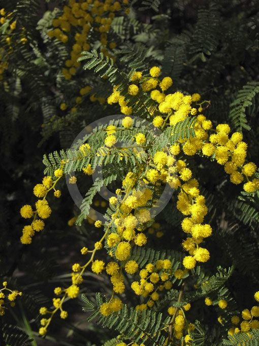 Acacia pubescens Acacia pubescens Downy Wattle information amp photos