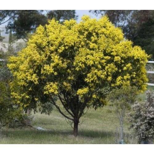 Acacia pycnantha Buy Acacia Pycnantha Golden Wattle Online Plants