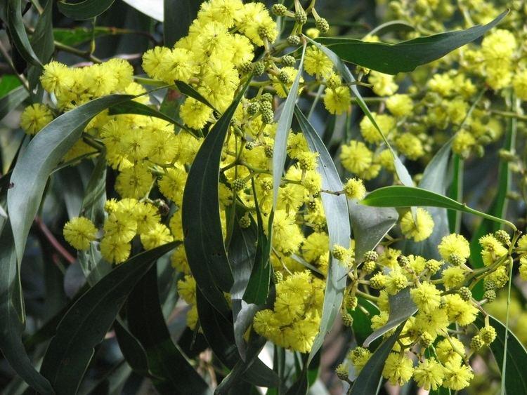 Acacia pycnantha httpsuploadwikimediaorgwikipediacommons99