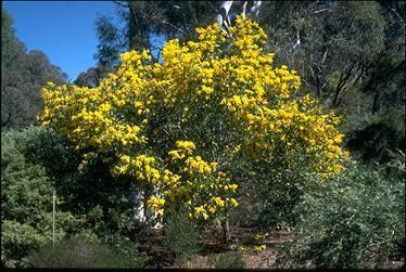 Acacia pycnantha 0292jpg