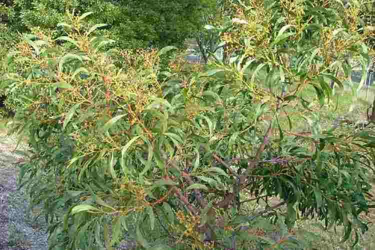 Acacia pycnantha Acacia pycnantha