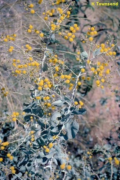 Acacia pyrifolia apyrijpg