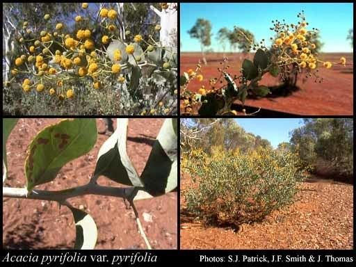 Acacia pyrifolia Acacia pyrifolia DC var pyrifolia FloraBase Flora of Western