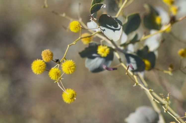 Acacia pyrifolia bf26253d7b8f171dddb155f84ce1d562XLjpg