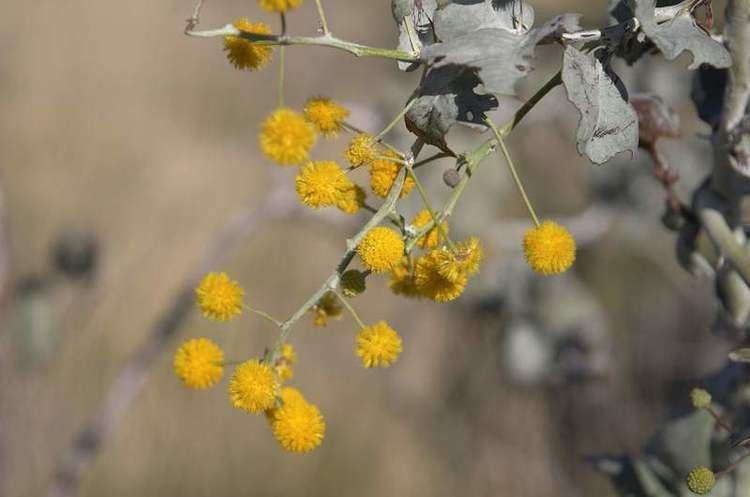 Acacia pyrifolia Factsheet pyrifolia var pyrifolia