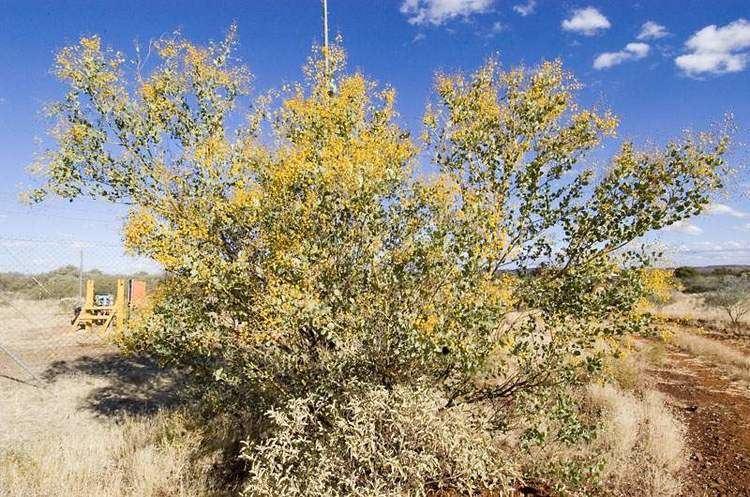 Acacia pyrifolia Factsheet pyrifolia var morrisonii