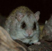 Acacia rat thewebsiteofeverythingcomweblogimagesacaciara