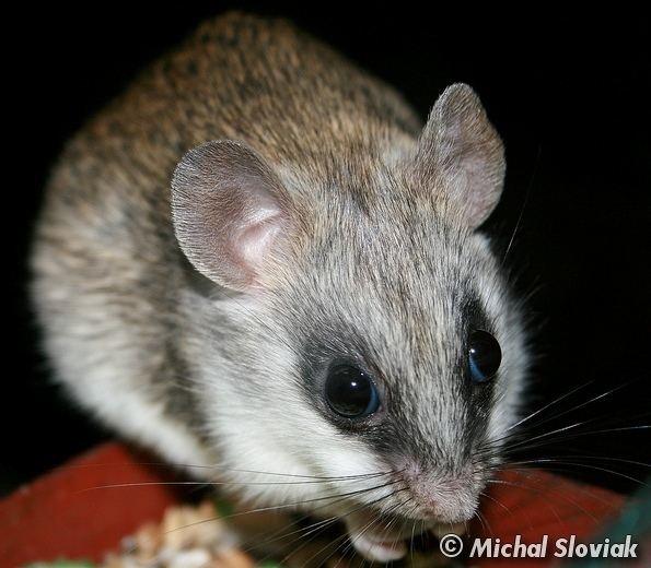 Acacia rat Image Thallomys paedulcus Acacia Rat BioLibcz