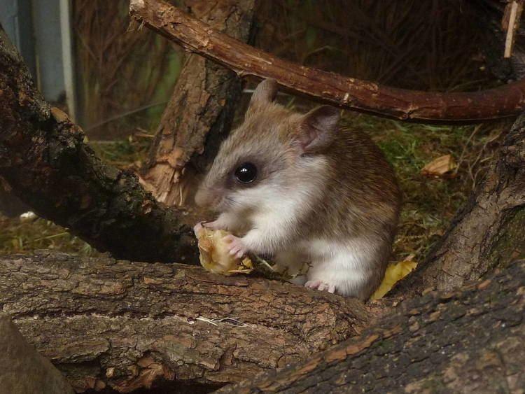 Acacia rat Acacia rat ZooChat