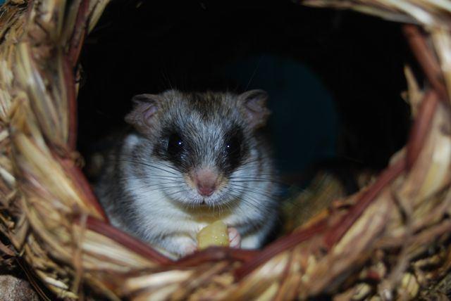 Acacia rat NW England Acacia rats for sale Reptile Forums