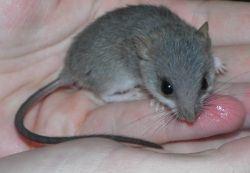 Acacia rat ACACIA RATS Swansea Swansea Pets4Homes