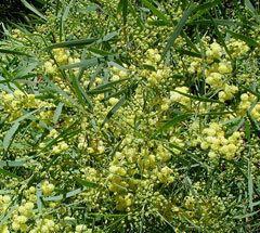 Acacia retinodes pfaforgAdminPlantImagesAcaciaRetinodesjpg