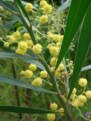Acacia retinodes Acacia retinodes Hortipedia