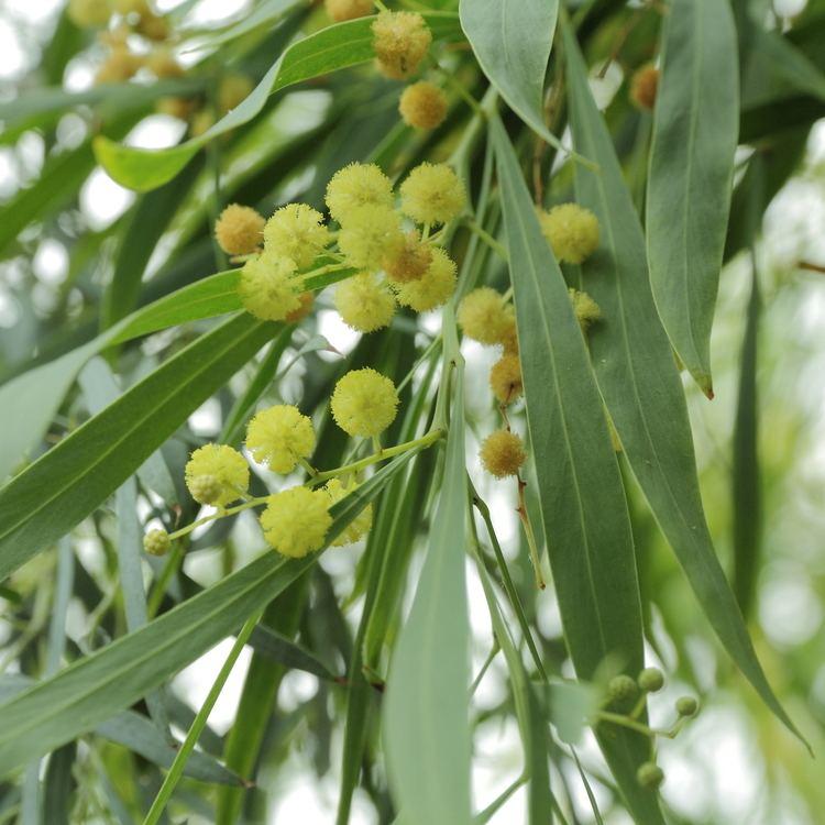 Acacia retinodes FileAcacia retinodesIMG 4384jpg Wikimedia Commons