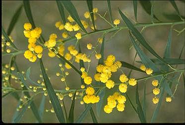 Acacia retinodes Australian National Botanic Gardens Growing Acacia