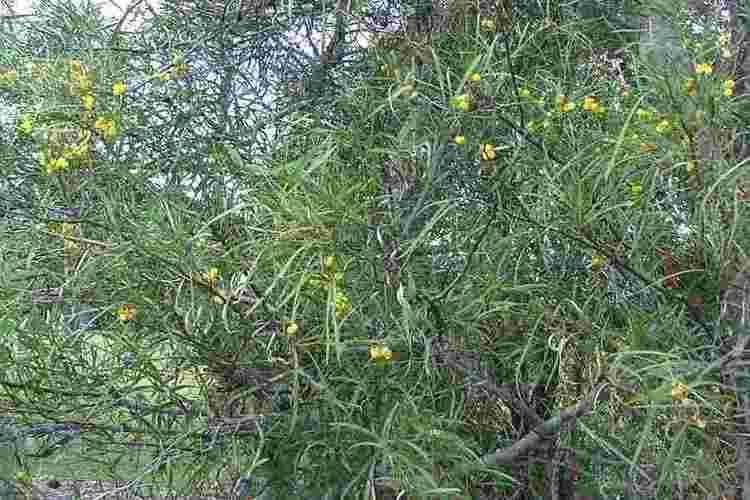 Acacia retinodes Acacia retinodes