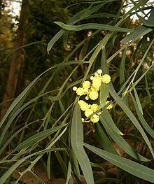 Acacia rostellifera Acacia rostellifera Wikipedia