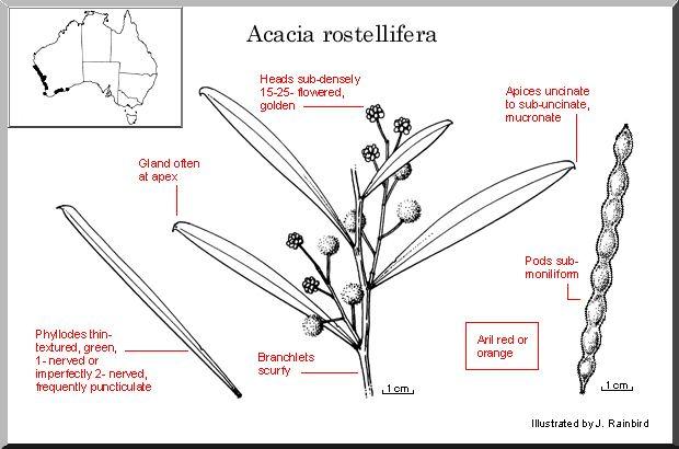 Acacia rostellifera Acacia rostellifera WATTLE