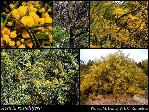 Acacia rostellifera httpsflorabasedpawwagovausciencetimage35
