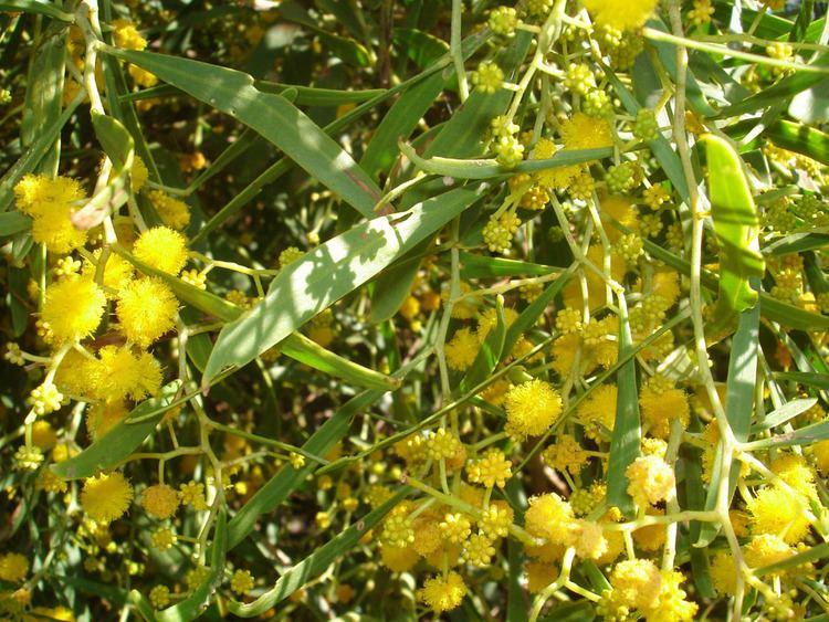 Acacia rostellifera Local plants Cottesloe Coastcare Association