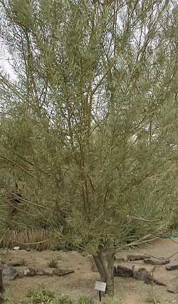 Acacia rostellifera Skunk Tree Summer scented wattle Acacia rostellifera