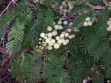 Acacia schinoides httpsuploadwikimediaorgwikipediacommonsthu