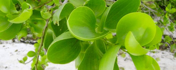 Acacia simplex Buy Acacia Simplex Simplicifolia Root Bark Seeds amp Live Plants