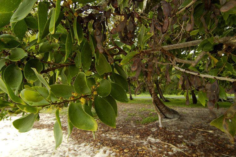 Acacia simplex Acacia Simplex pics Ethnobotany The Corroboree