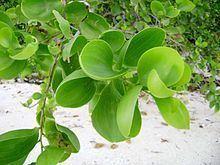 Acacia simplex httpsuploadwikimediaorgwikipediacommonsthu