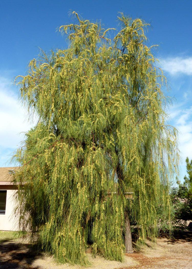 Acacia stenophylla Acacia stenophylla full canopyJPG