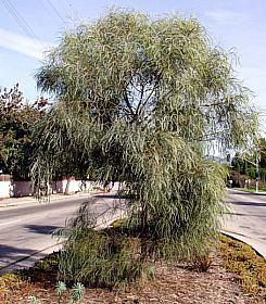Acacia stenophylla wwwsmgrowerscomimagedbacaciastenophyllajpg