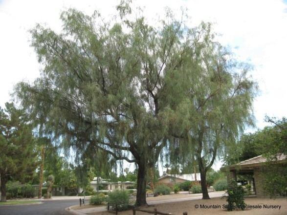 Acacia stenophylla acaciastenophylla1ver587jpg