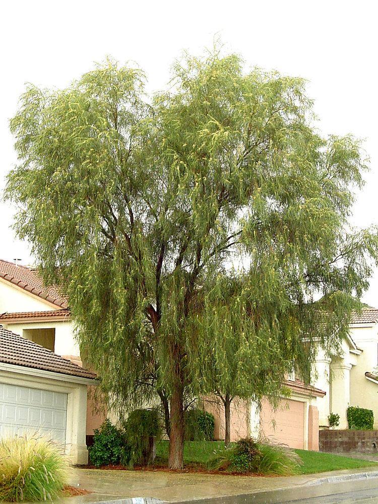 Acacia stenophylla Shoestring Acacia Acacia stenophylla