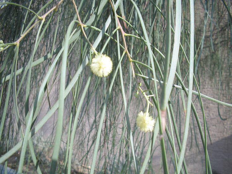 Acacia stenophylla Acacia stenophylla Wikipedia