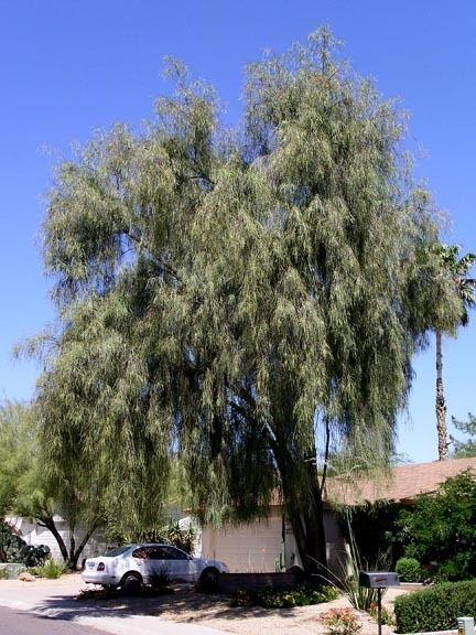 Acacia stenophylla acaciastenophyllajpg