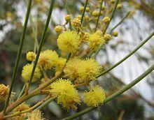 Acacia subulata httpsuploadwikimediaorgwikipediacommonsthu