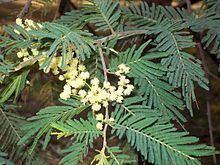 Acacia trachyphloia httpsuploadwikimediaorgwikipediacommonsthu