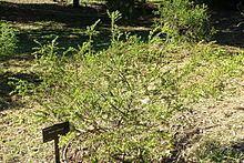 Acacia truncata httpsuploadwikimediaorgwikipediacommonsthu