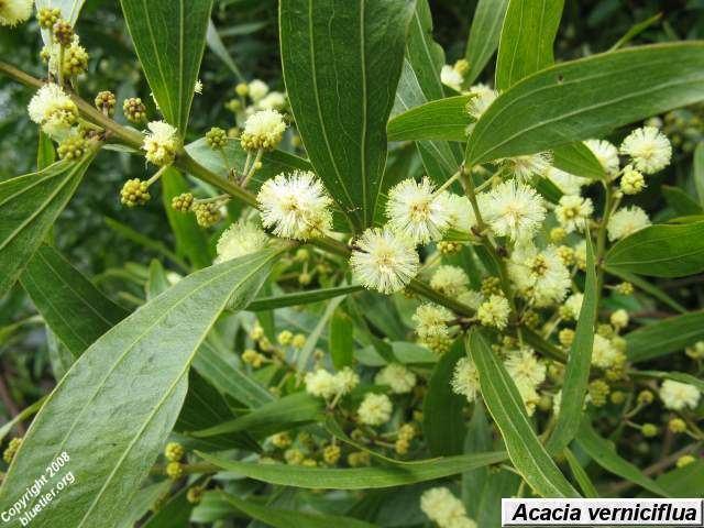 Acacia verniciflua Blue Tier Tasmania dicotyledons trees shrubs and climbers