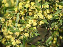 Acacia verniciflua httpsuploadwikimediaorgwikipediacommonsthu