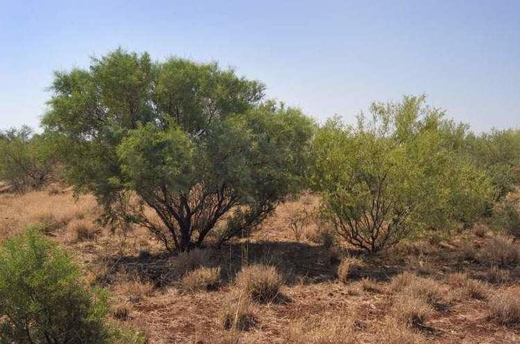 Acacia victoriae Factsheet victoriae