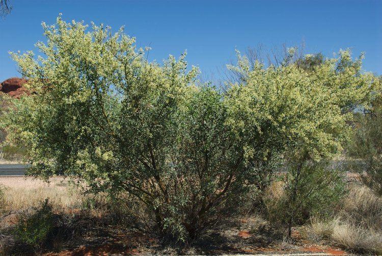Acacia victoriae Acacia victoriae Fabaceae image 35608 at PlantSystematicsorg