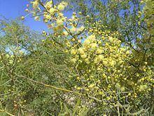 Acacia victoriae httpsuploadwikimediaorgwikipediacommonsthu