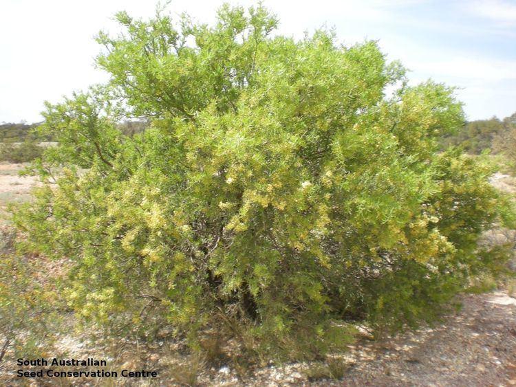 Acacia victoriae Acacia victoriae ssp victoriae