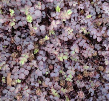 Acaena Acaena inermis 39Purpurea39 New Zealand Purple Burr Bidibidi