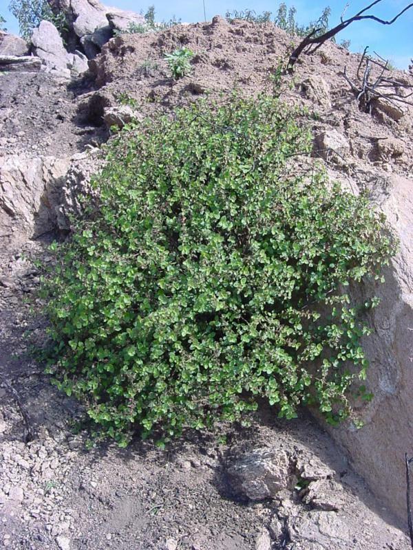 Acalypha californica California copperleaf