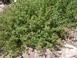 Acalypha californica SEINet Arizona Chapter Acalypha californica